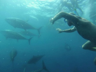 Aventura entre tonyines a l'Ametlla de Mar  - Foto: Tuna Tour