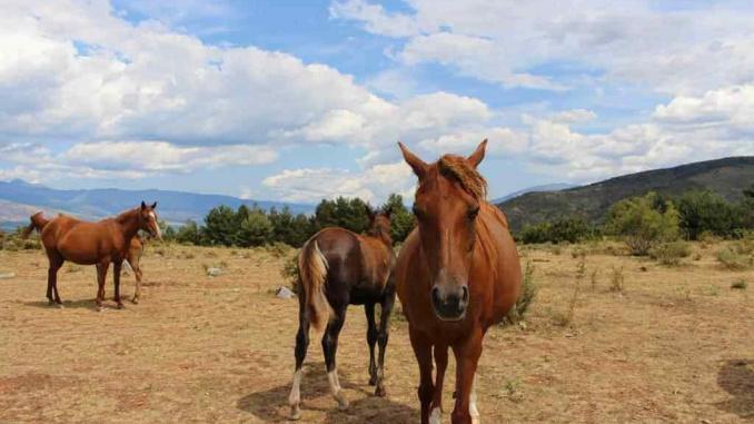 Pla de la Baga Alp cavalls